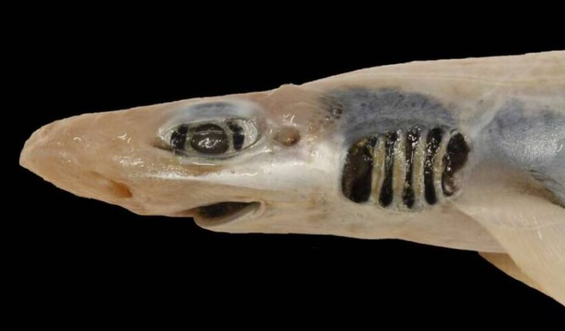 Scientists Found A Shark Without Skin Or Teeth Miraculously Thriving In The Mediterranean Sea
